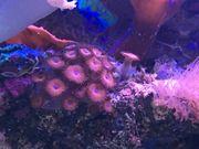 Koralle Zoanthus knall rot