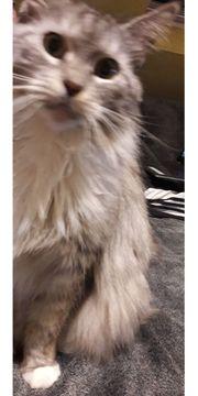 Maine Coon Katzendame 11 Jahre