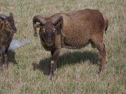 Soay Schafe Lämmer abzugeben