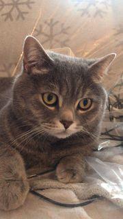 BKH Britisch Kurzhaar Katze