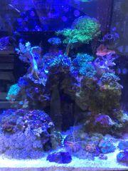 Korallenableger Weichkorallen Zoanthus