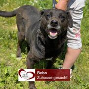 Labradormixmann Bebo sucht seine Menschen