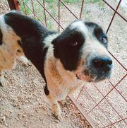 Herdenschutzhund Mischlingsrüde Nobi sucht ein