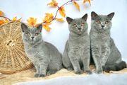 Super liebe reinrassige BKH Kätzchen