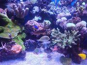 Meerwasser SPS LPS Korallen