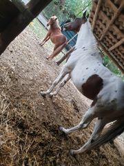 Pferd und Pony im Doppelpack