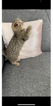 BKH Britisch Kurzhaar Kätzchen Kitten