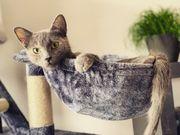 Russisch Blau-Mix Katze Schildpatt kastriert