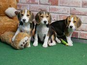 Beagle Mischlinge Tolle Familienhunde