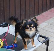 Chihuahua Rüde 12 Monate alt