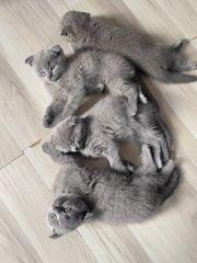 2x Scottish Fold BKH Kitten
