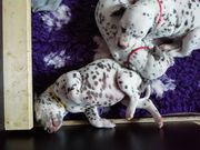 Dalmatiner aus VDH Cdf Zucht