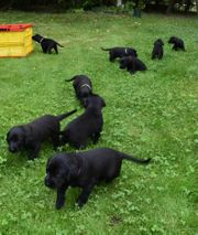 Schafpudelmischlingwelpen Hundwelpen