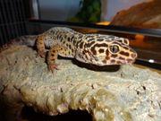 Leopardgecko Männchen ca 3 Jahre