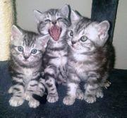 Reinrassige BKH-Kitten abzugeben