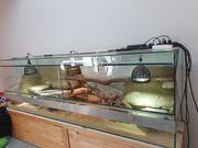 Bartagamen Pärchen mit Terrarium abzugeben
