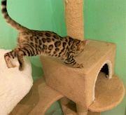 Bengal Kitten NOCH 1 MÄNNCHEN