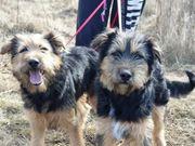 BUCO und MUCO Schäferhund Mischlinge -
