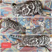 Typvolle Bengal Kätzchen in silber