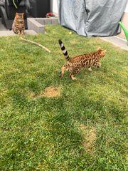 Bengal Katze sucht neues Zuhause