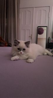 Wundervolle Ragdoll Kitten suchen liebevolles