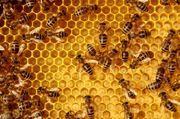 Bienenvolk Carnica Buckfast DNM 1