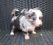 Chihuahua Mix Welpe weiblich Merle