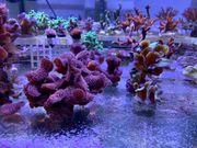 Starter- Paket Korallen Korallenableger