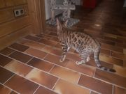 Bengal Katze Weiblich