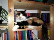 Finderlohn Dreifarbige tricolor Katze Glückskatze