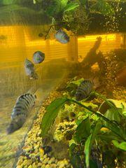 Zebra Barsche eigene Nachzucht 2-5cm