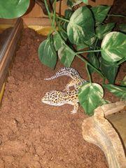 1 0 lepardgekos Männchen