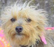 BEATRIX Yorkshire Terrier - auch das