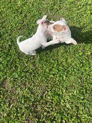 Jach Russell Terrier