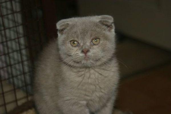 Verschmuste Scottish Fold Kitten
