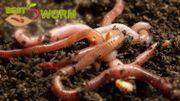 Kompostwürmer 1000 Stk Bestworm Würmer
