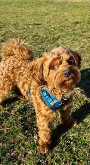 Bolonka Zwetna Hunde Kaufen Verkaufen Auf Quoka De