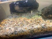 mississippi höckerschildkröte Und das passende