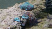 Scheibenanemonen Meerwasser