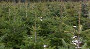 Christbäume Weihnachtsbäume zu verkaufen