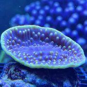 Meerwasser- Korallen Korallenableger