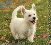 Westhighland White Terrier Welpen