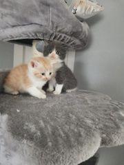8 süße Kitten