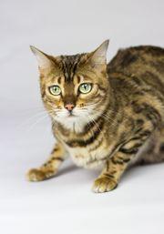 Wunderschöne Bengalkatzen abzugeben