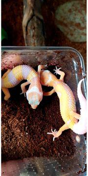 Leopardgeckos DNZ verschiedene Morphe