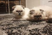 BKH Katzen suchen nettes Zuhause