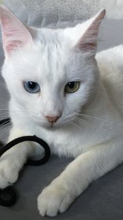 Khao Manee Katze zu verkaufen