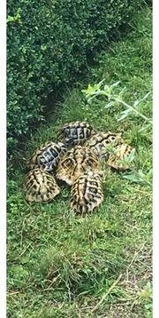 Schildkröten männlich 1 Männchen ca