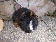 Teddy Meerschweinchen Bub