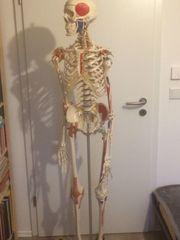 Anatomie Skelett Sam Hochwertiger Hersteller